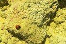 Kleiner mutiger Marienkäfer im Schwefel auf Vulcano