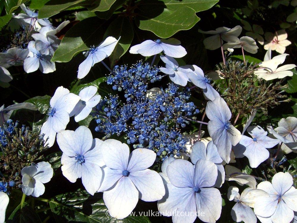 Azorianische Blumenpracht