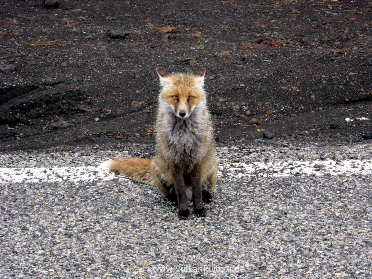 Fuchs am Ätna