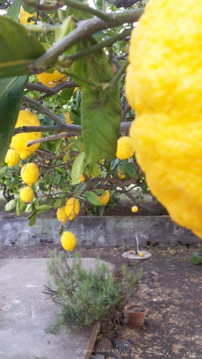 Stromboli - Zitronenpracht im Garten