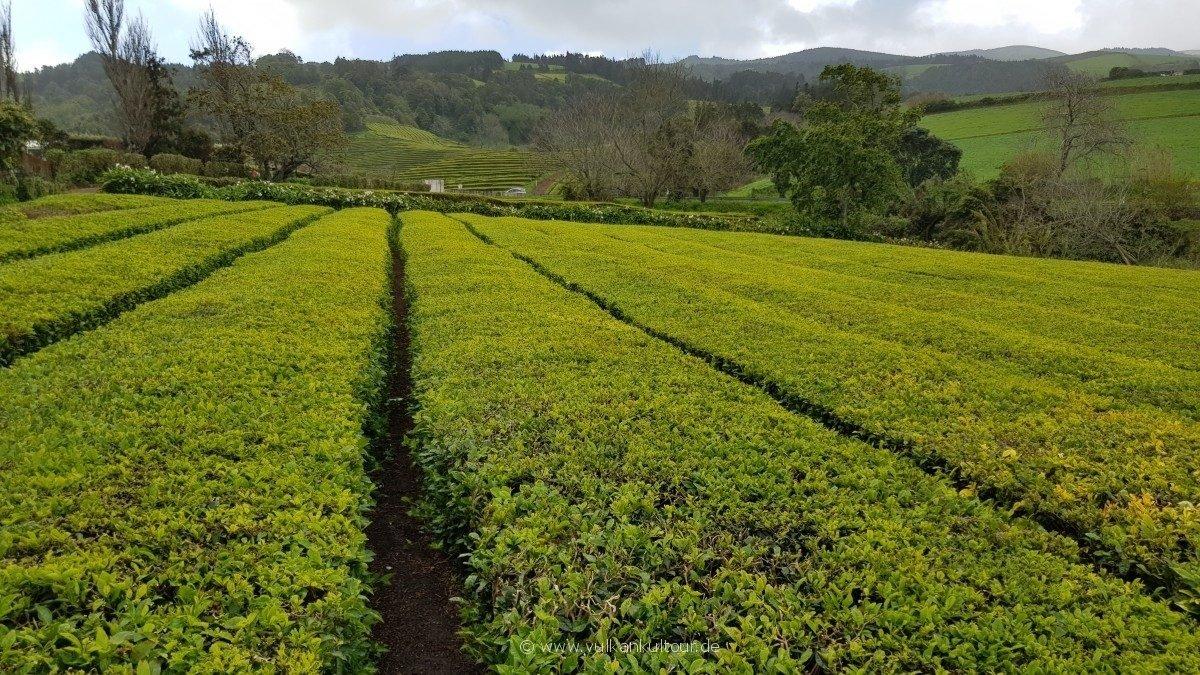 Gorreana Cha - einst Europas einzige Teeplantage