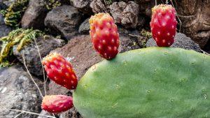 Fichi d'India (Kaktusfeigen)