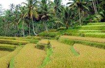 Reisterrassen rund um Ubud