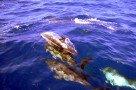 Eine Delfinschule posiert für uns / Whale Watching von Ponta Delgada
