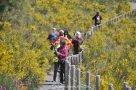 Abstieg vom Vesuv durch blühenden Ginster