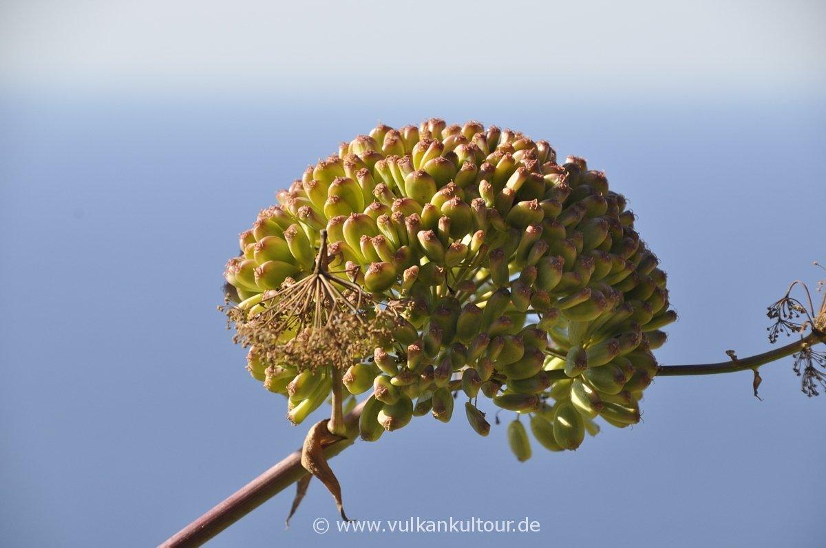 Die Samen des Riesenfenchels