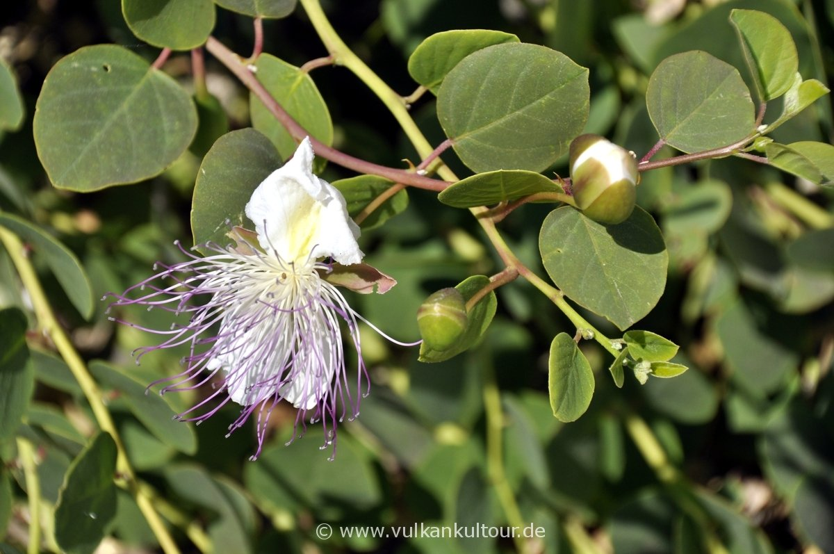 Die Kaper, die Orchidee der Äolischen Inseln