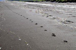Polarfuchsspuren am Strand
