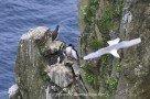 Gryllteiste und Eissturmvogel