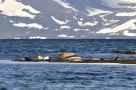 Seehunde im Hestfjörður