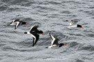 Austernfischerparade