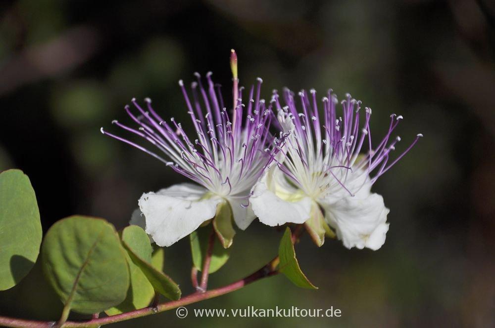Kapernblüte (im Oktober, ungewöhnlich!)