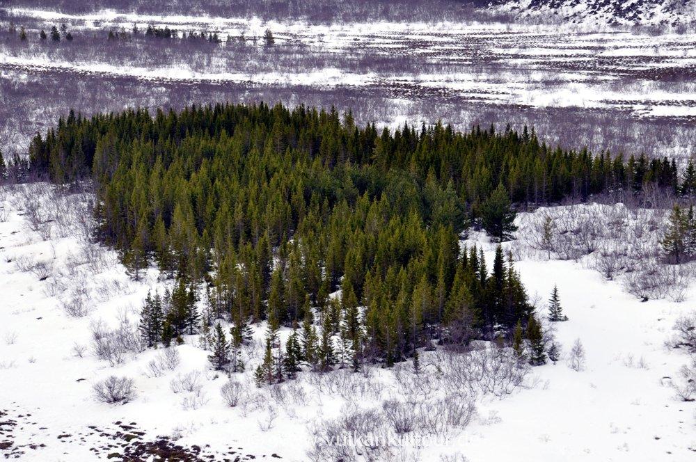 Ein richtiger Wald in Ásbyrgi
