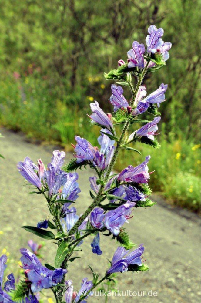 Blütenpracht am Vesuv