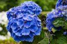 Blaue Hortensien in voller Blüte