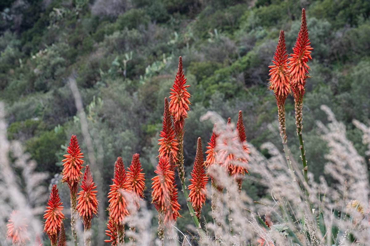 Blumenpracht auf Alicudi