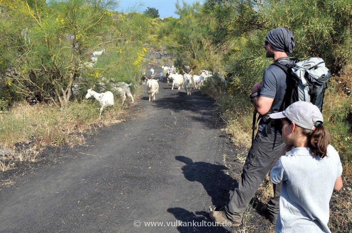 Begegnung mit einer Ziegenherde