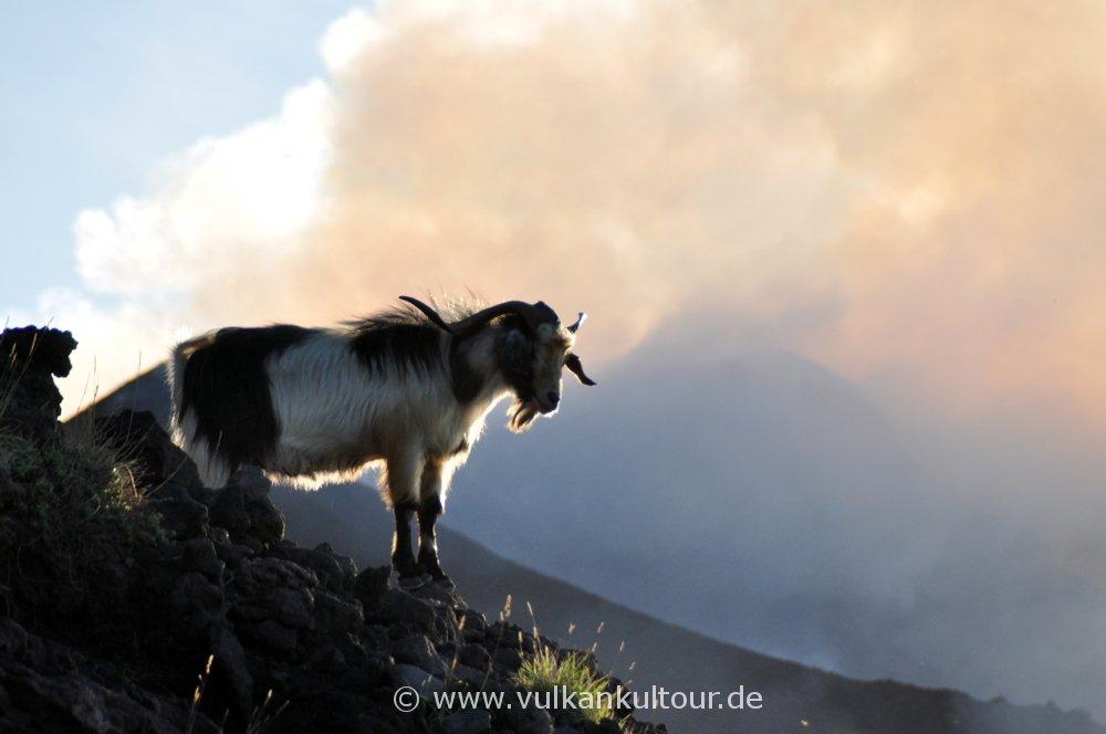 Wilde Ziegen auf Stromboli