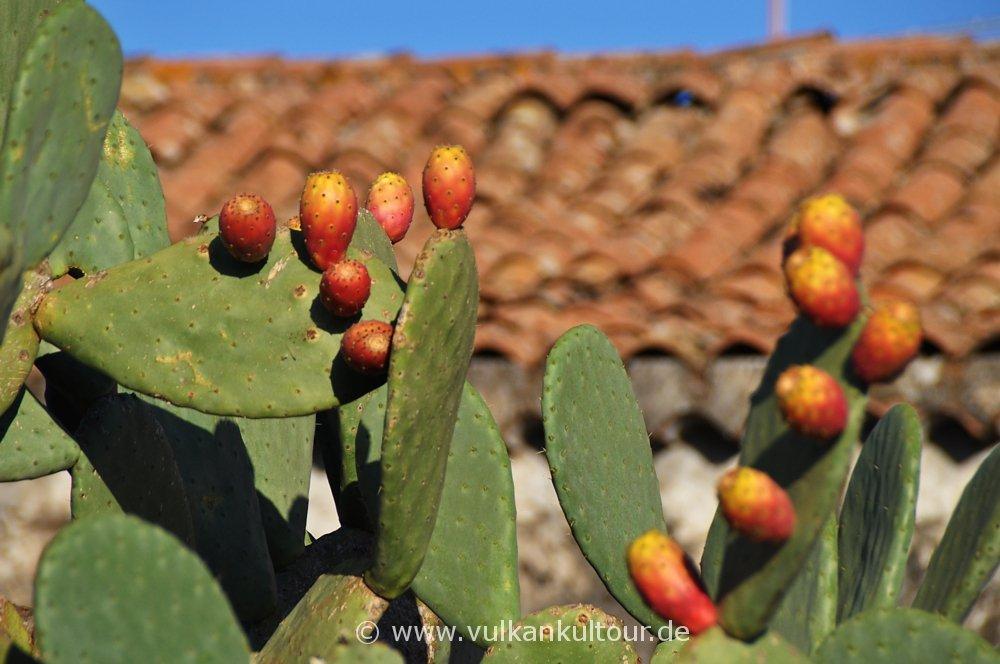 Reife Kaktusfeigen