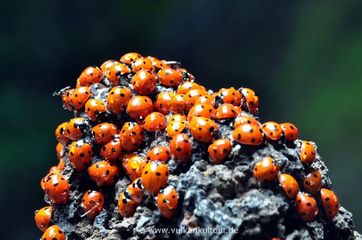 Die Marienkäfer suchen Schutz in der Grotta dei Lamponi