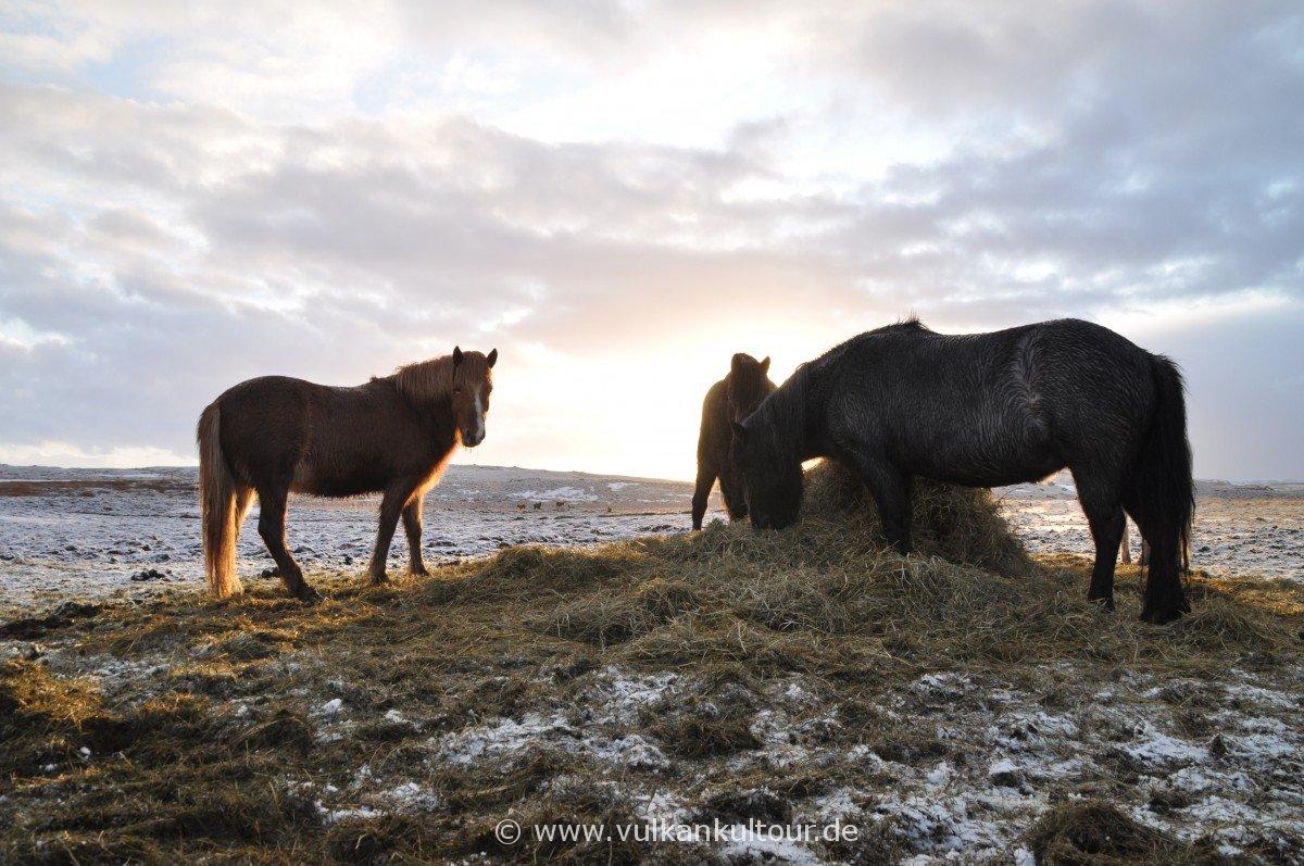 Hestarnir - die Pferde