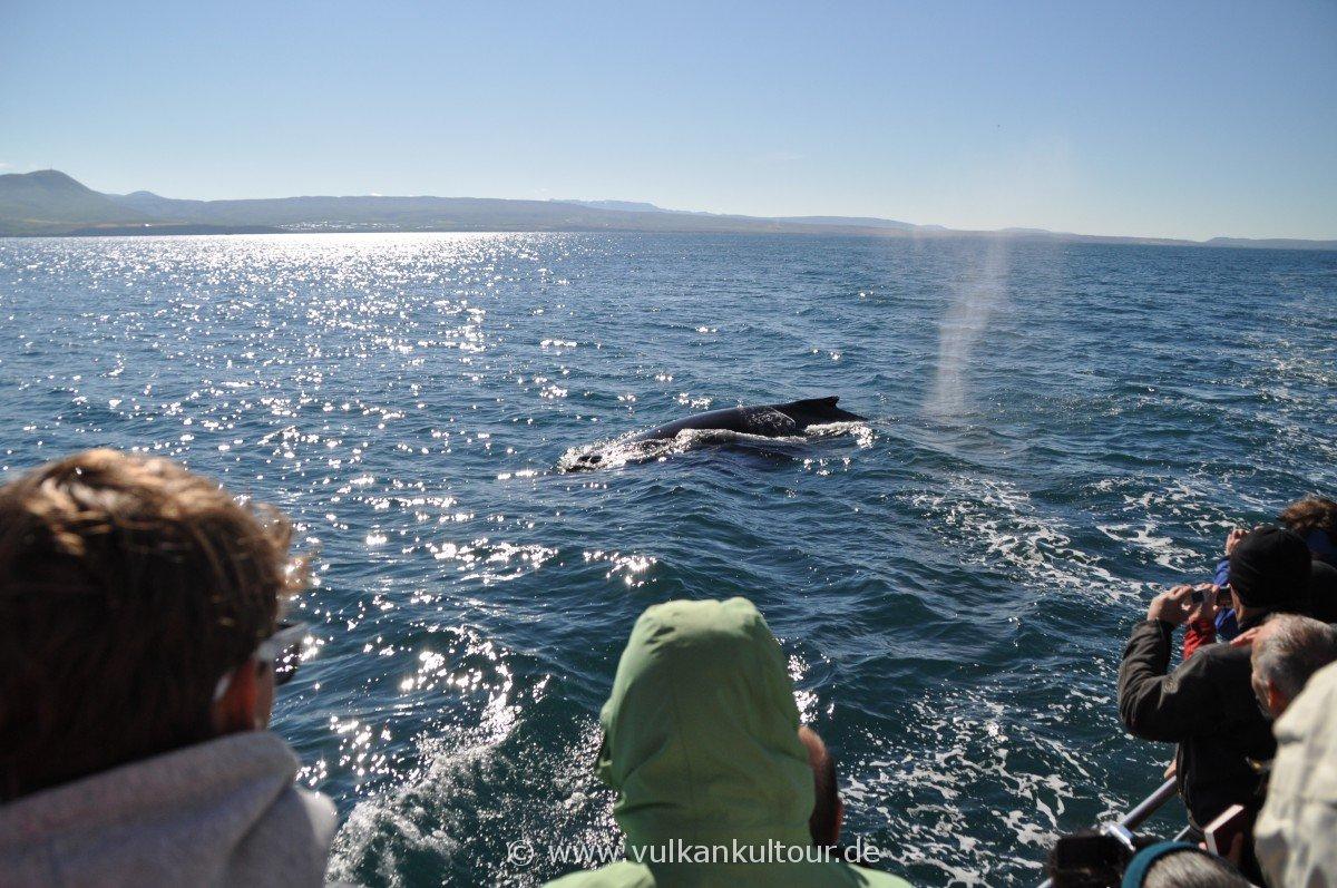 Buckelwal (Whale Watching von Húsavík)