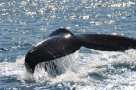 Walfinne (Buckelwal)