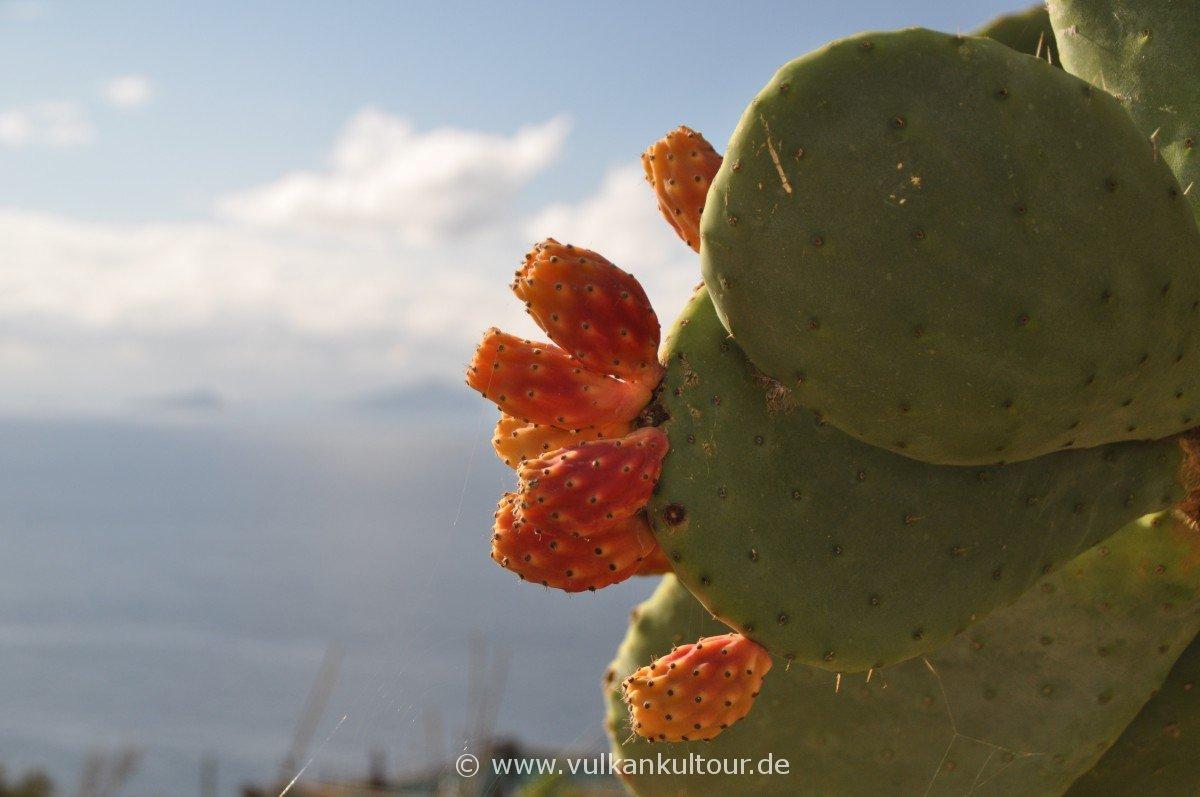 Reife Kaktusfeigen in Ginostra / Ende Dezember!
