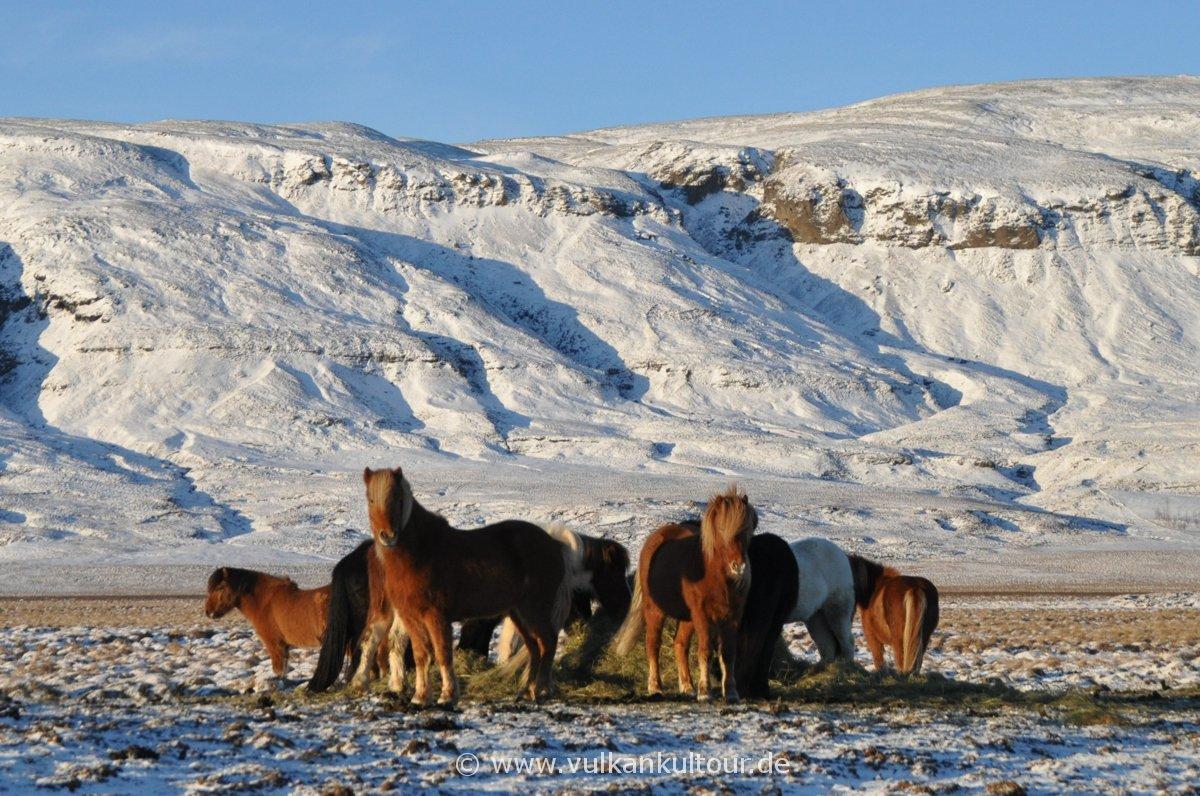 Auch im Winter auf der Weise - Islandpferde