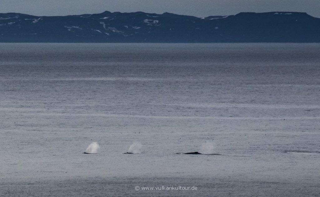 Wale im Finnafjörður