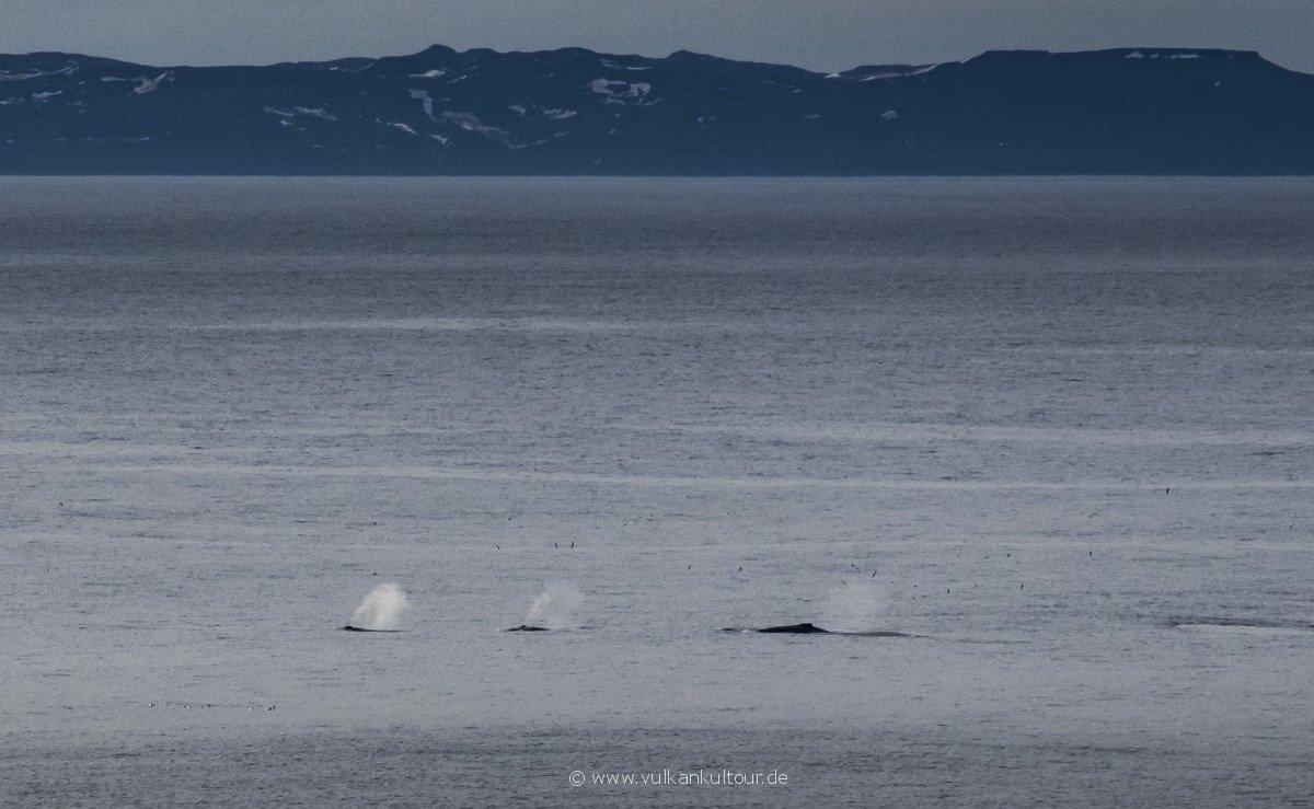 Wir sehen Wale von der Langanes-Halbinsel aus!