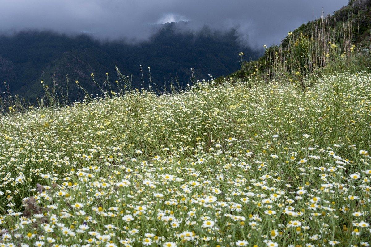 Blühende Margeriten