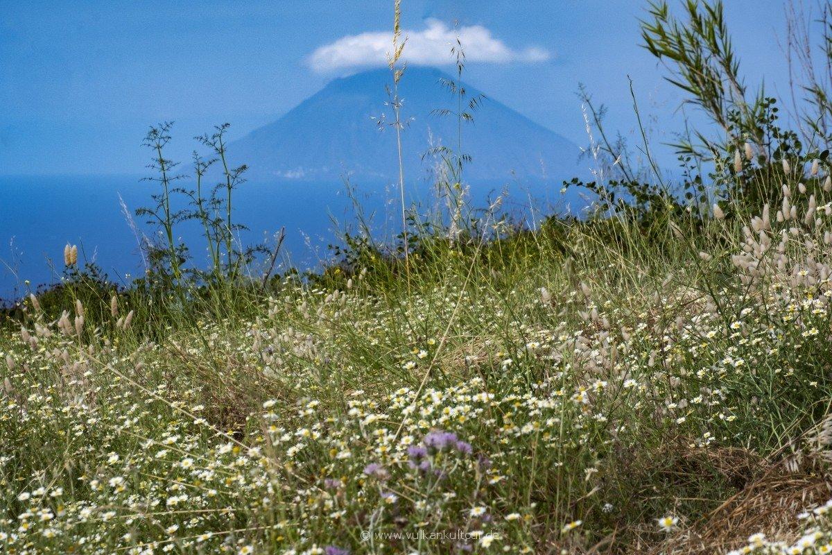 Blühende Margeriten, im Hintergrund der Stromboli