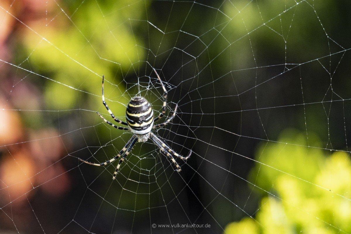 Faszinierende und wunderschöne Wespenspinne auf Faial