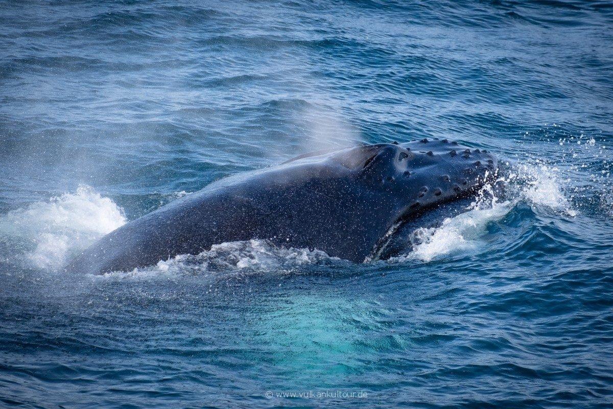 Ein Buckelwal taucht neben unserem Boot auf