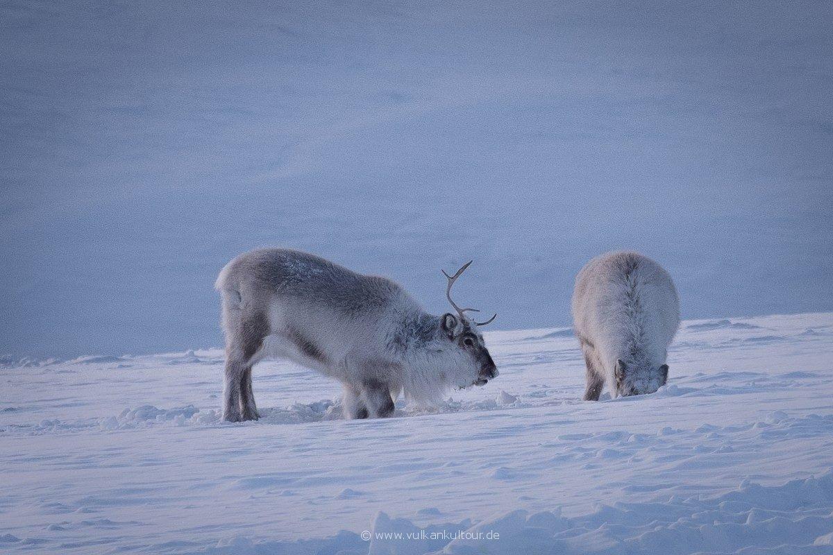 Svalbard-Rentiere