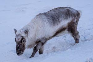 Das Svalbard-Rentier muss im Winter nach Futter graben