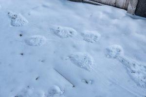 Der König der Arktis hat Spuren hinterlassen