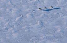 Eisbärenmutter mit zwei Jungtieren (ca. 400 Meter entfernt)