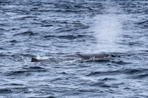 Whale Watching vor Faial - Ein Potwal!