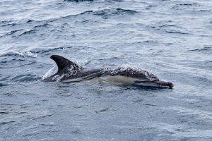 Whale Watching vor Faial - Gemeiner Delfin