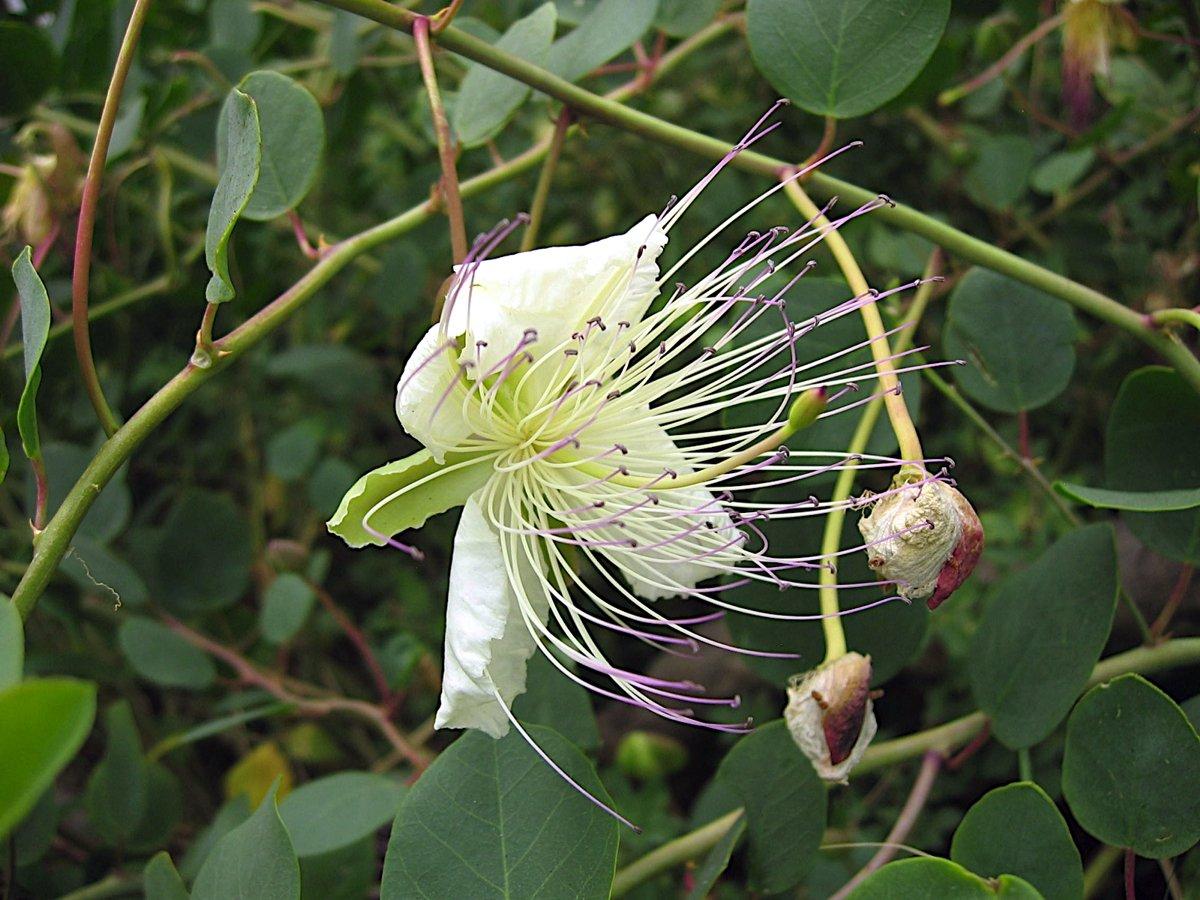 Blühender Kapernbusch - das Gewürz der Liparischen Inseln