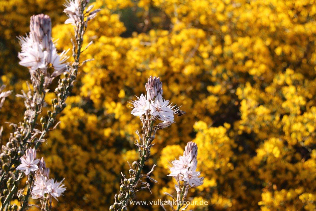 Stromboli - Aufstieg im Blütenduft der erwachenden Vegetation