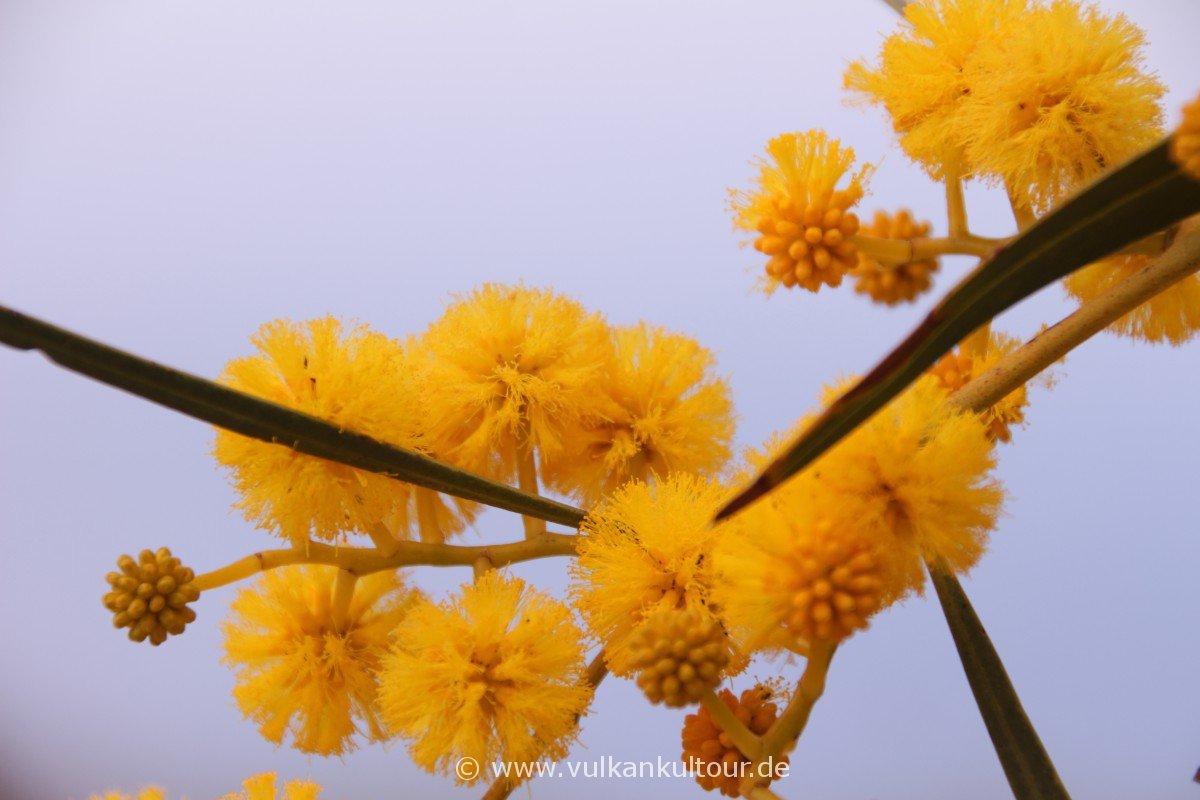Liparis Westküste - Mimosenblüten