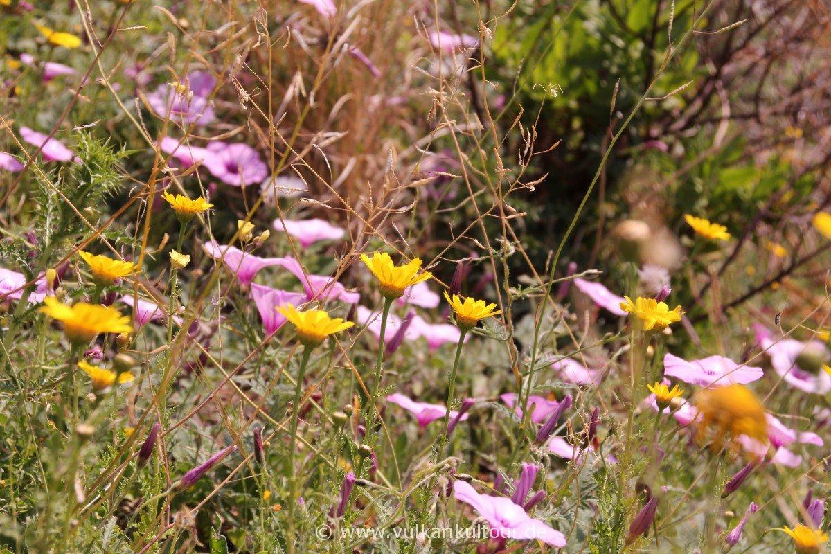 Liparis Westküste - Blumenpracht
