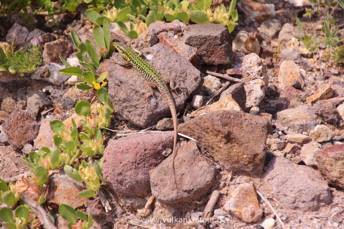Liparis Westküste - der Pfad der hunderttausend Eidechsen