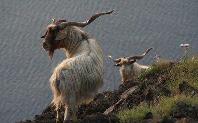 Wilde Ziegen auf Stromboli (© Susi Merk)