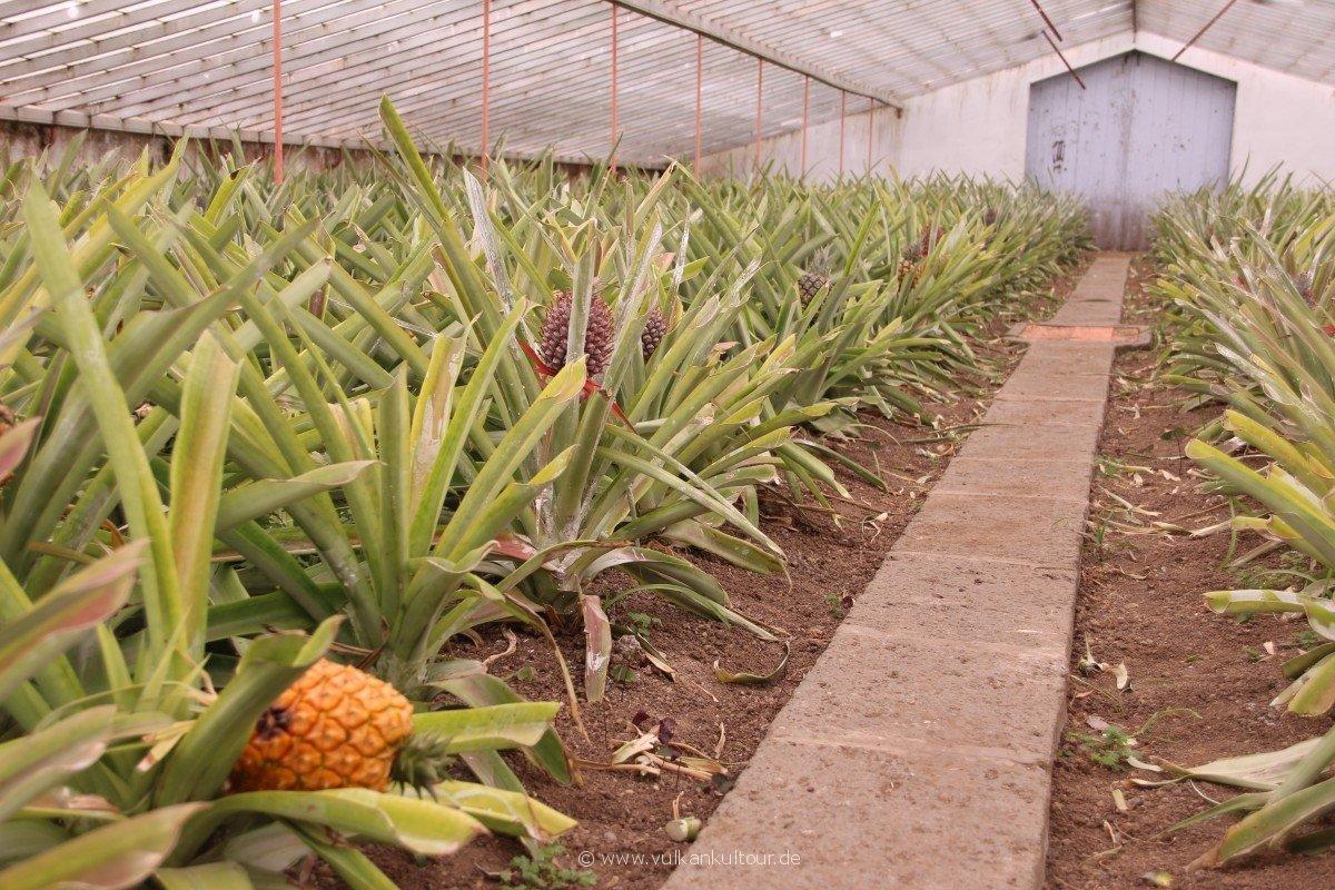 20160811 Azoren Ananasplantage