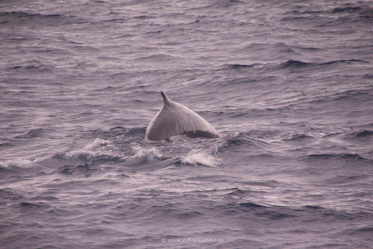 20160811 Azoren Pico Whale Watching