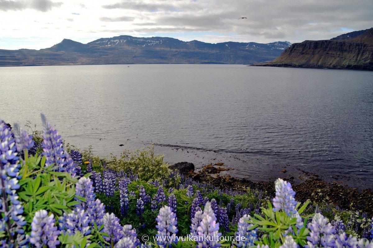 Lupinen am Norðfjorður